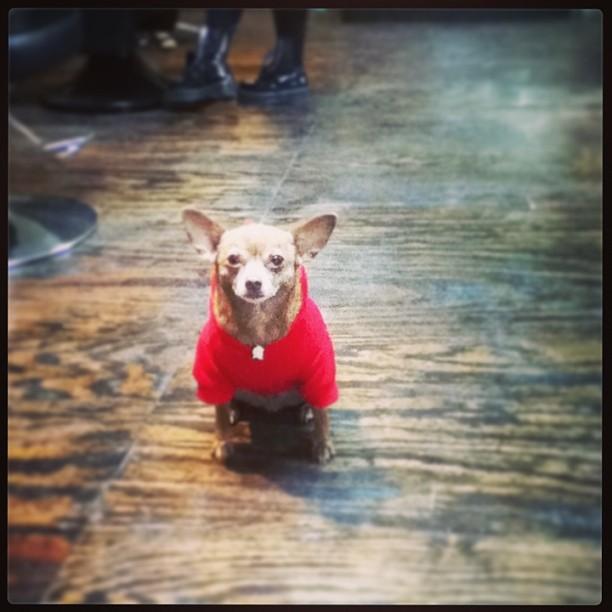 Mr. Bandit Tomahawk Chihuahua